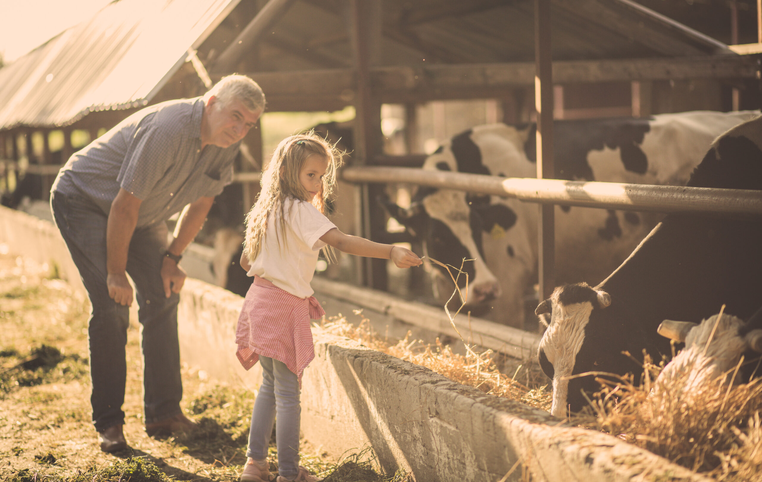 Old Farmer with a young girl teaching her about his cows